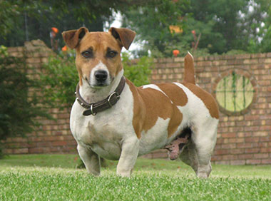 Are Jack Russell Terriers Good Family Dogs